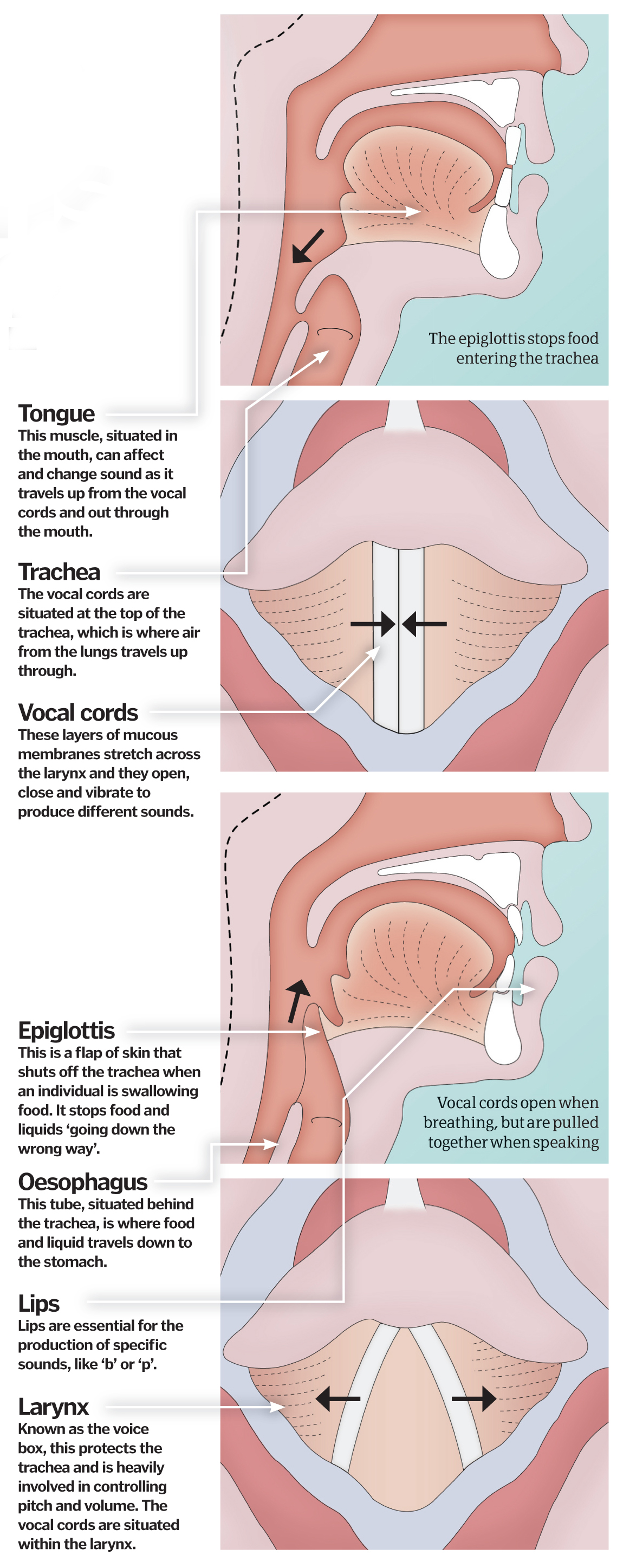 hight resolution of vocal chords how do we speak