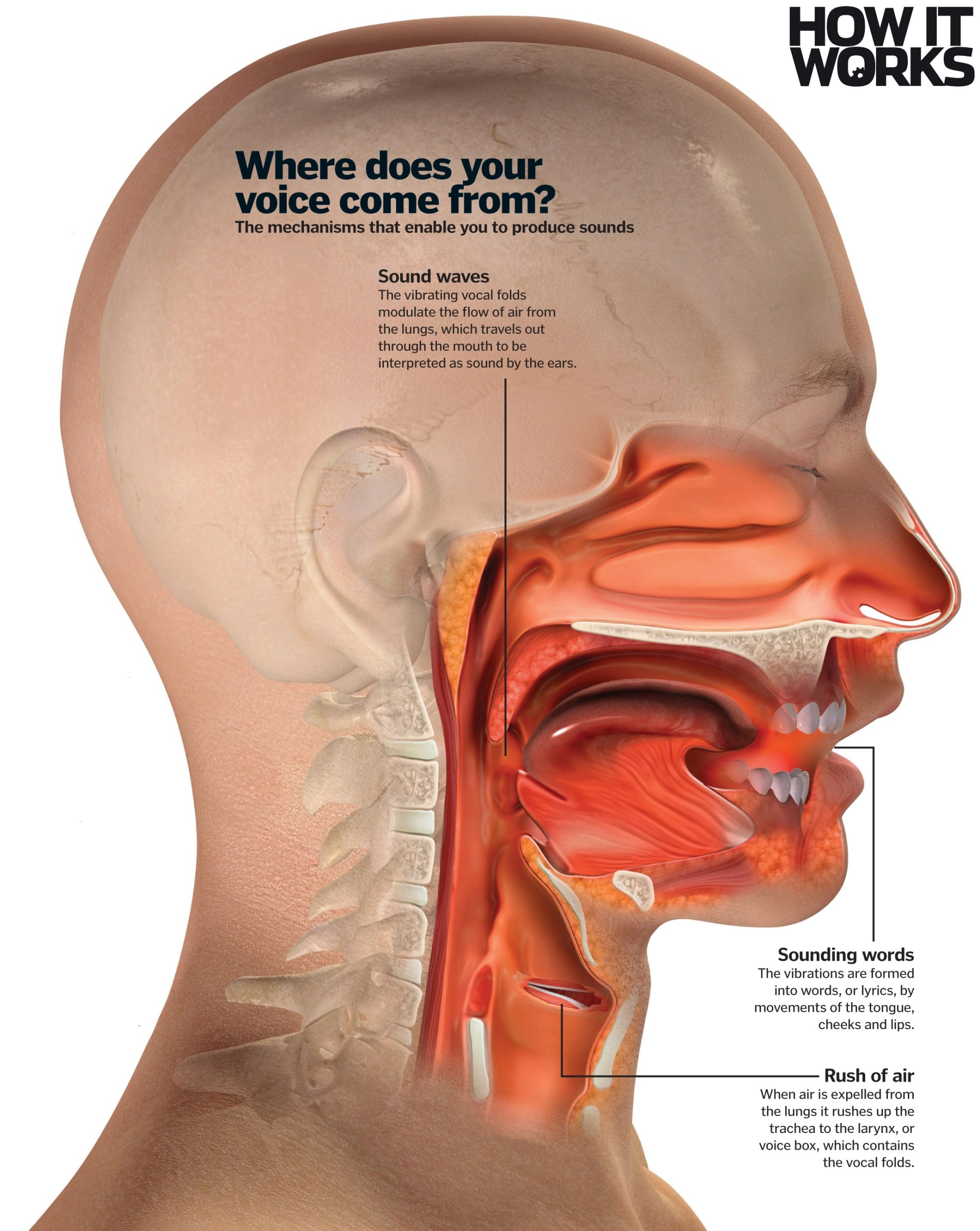 hight resolution of where does your voice come from
