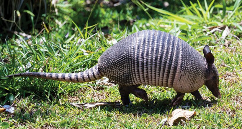 nine banded armadillo the