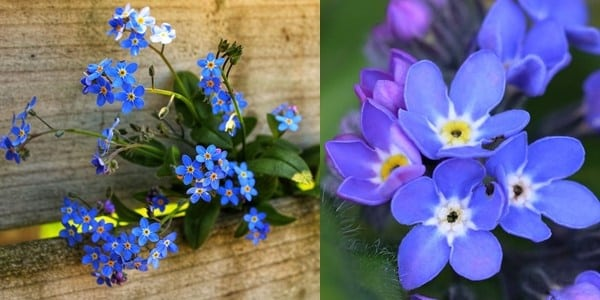 forget-me-not-20200621