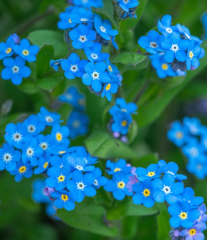 forget me not 2020062109 - What Does The Forget-Me-Not Flower Mean?