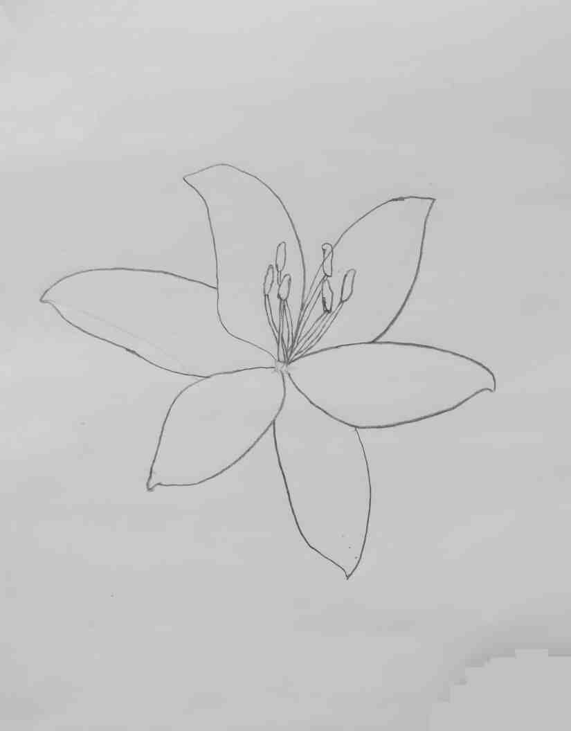 Draw a Lily 2020072103 - How to Draw a Lily: Practice for Beginners