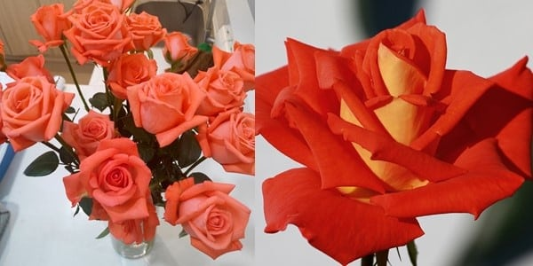 Orange-Roses-20200707