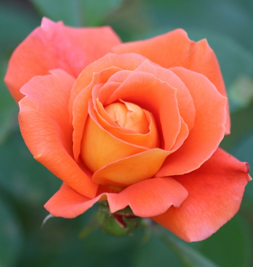 Orange Rose 2020070704 - 11 Most Beautiful Orange Roses and Meaning