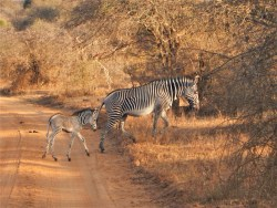 Mother and calf Grevy Zebra