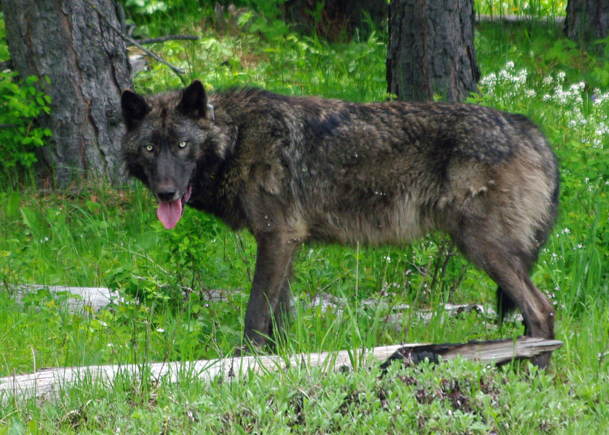 Mt Emily Male Wolf Brown Odfw
