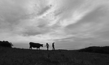 Home on the range, The Springdell Farm Black Angus herd. Photo by Tory Germann