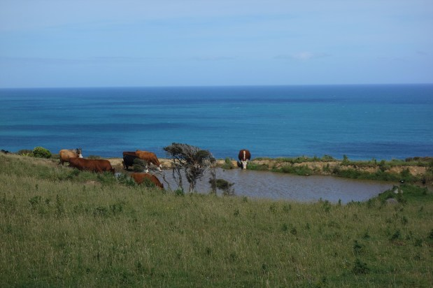 Catlins beaches and cows