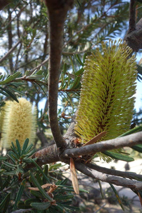 Banksia at Friendly Beaches camp
