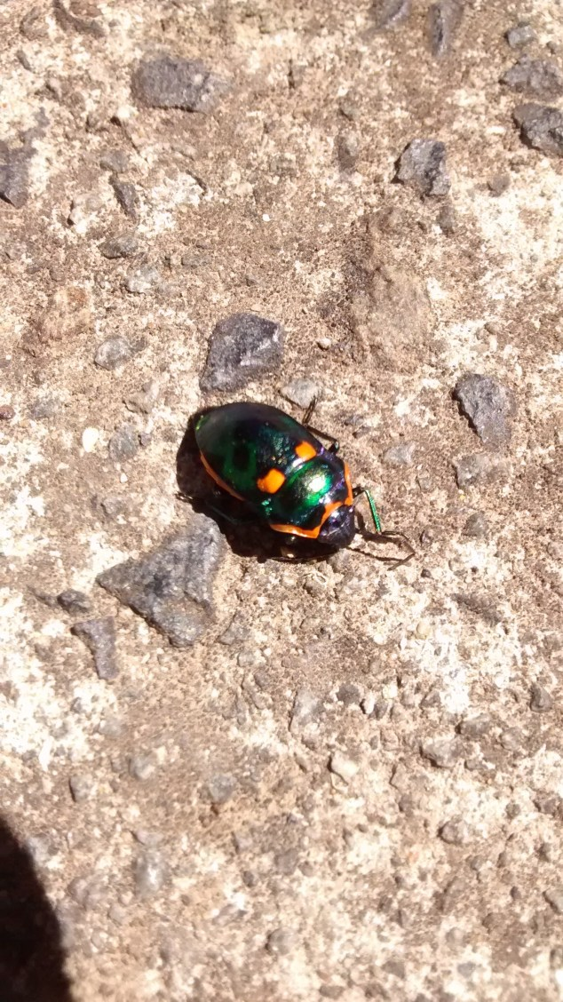 What I think is a Harlequin Bug in Hobart