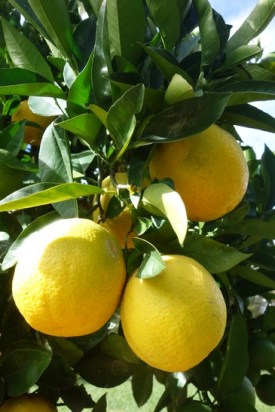 Lemons growing in the grounds