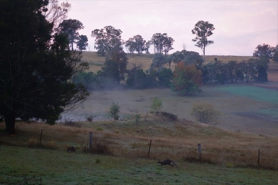 View of kangaroos on a misty morning from my cabin