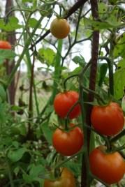 Tomatoes in the veggie garden