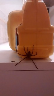 A huntsman appeared on my torch when I went to the toilet block