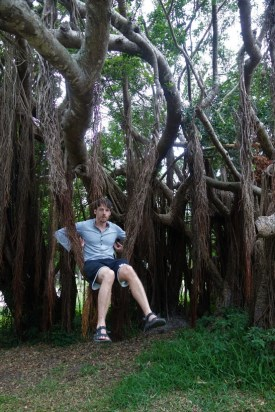 Monkeying around in the banyan tree