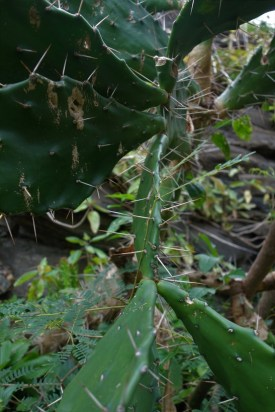 Cacti on Passage Rock walk