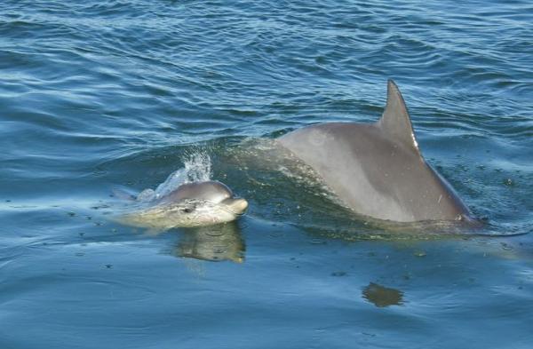 تزاوج وتربية الدلافين