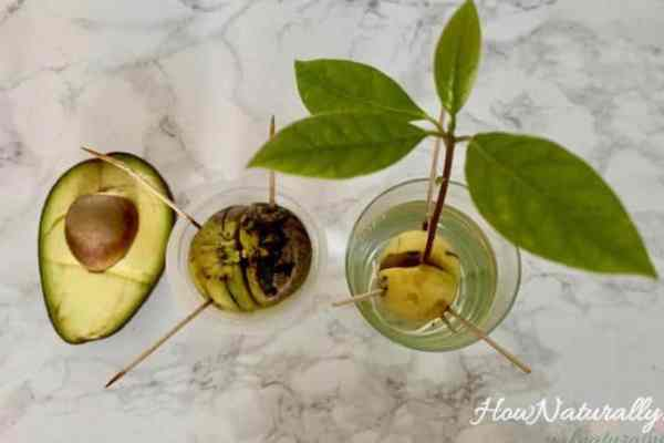 How to plant avocado from seed? A simple guide