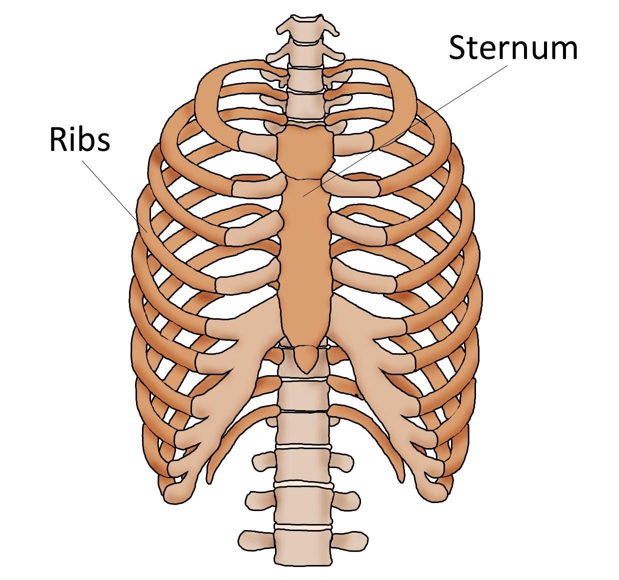 diagram of skeletal ribs ford escort radio wiring sternum pain breast bone current health advice