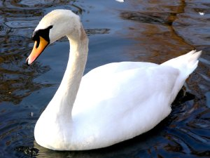 Picture of a swan