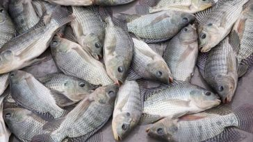 benefits of tilapia