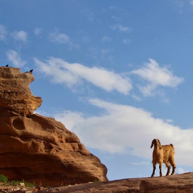 goat jordan petra