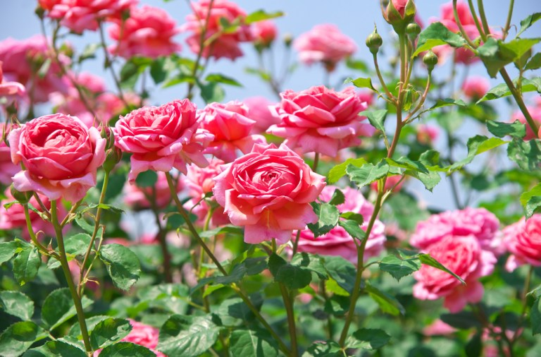 Soiuri de trandafiri