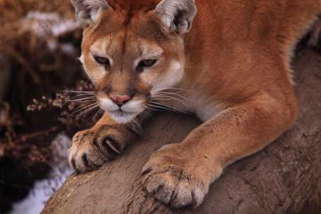 Mountain lion. http://blog.nwf.org/2013/10/were-not-mountain-lion-about-these-facts/