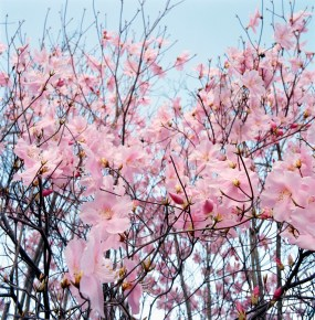 Detail of a cherry tree --- Image by © Royalty-Free/Corbis; book blogging, blog a book