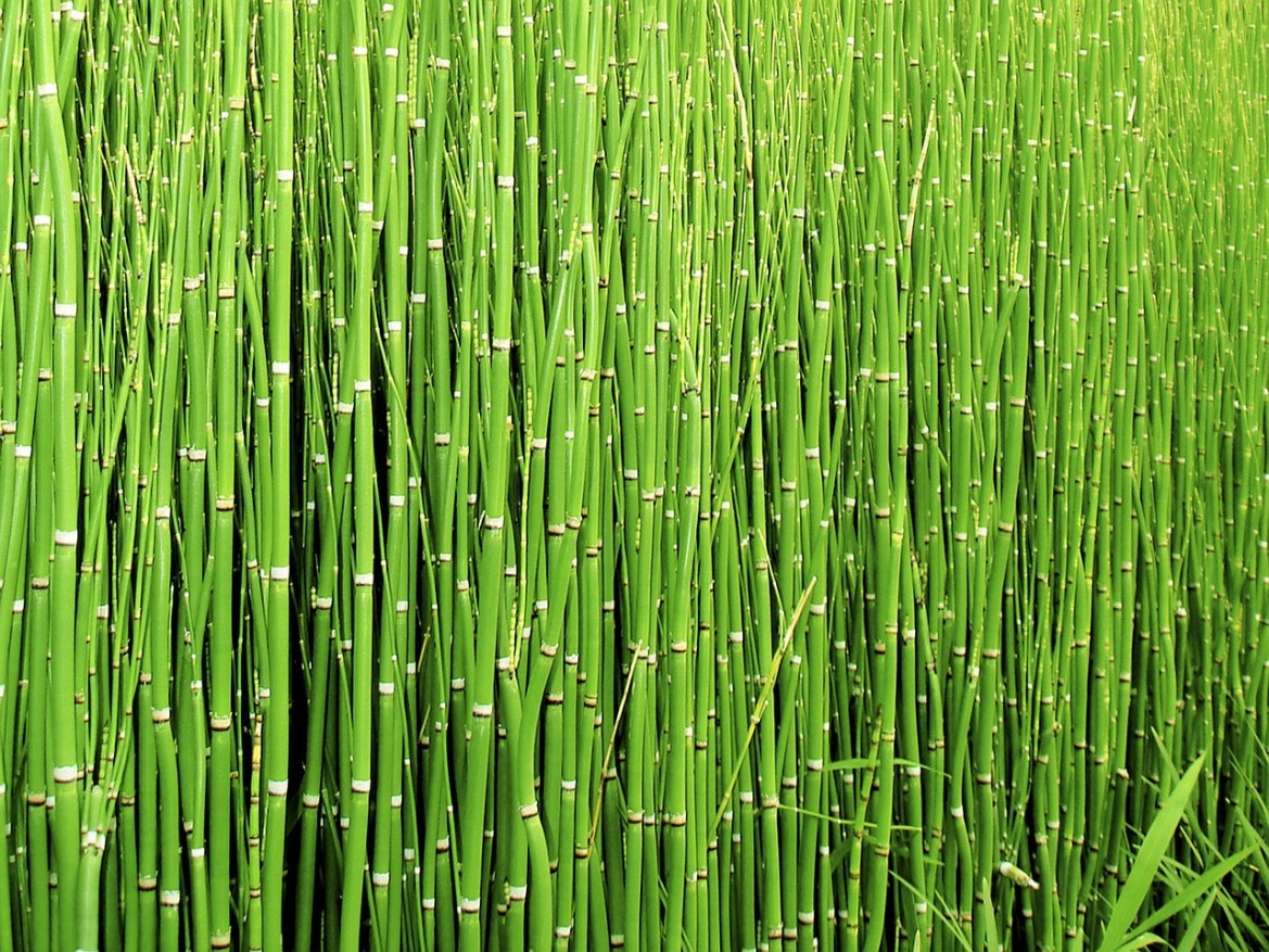 horsetail herb for kidney health