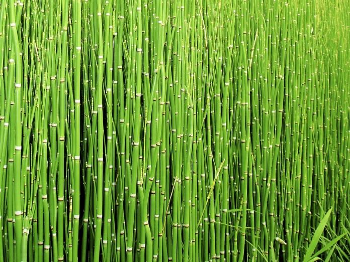 horsetail herb for kidney health