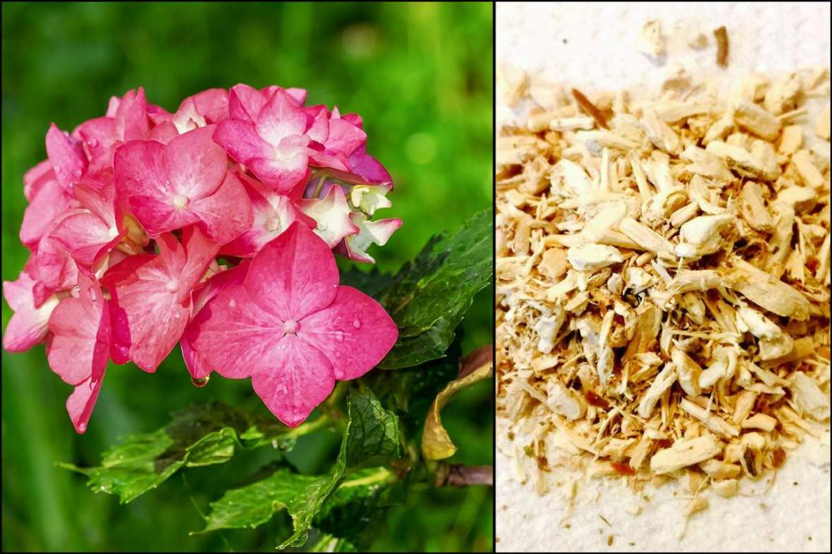 hydrangea root herb for kidney health