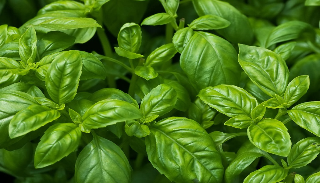 basil for getting rid of warts