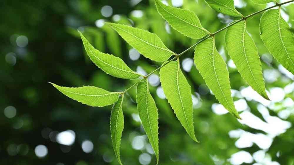 neem leaves for scabs
