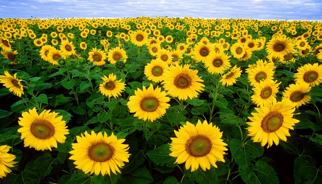 sunflower for eczema treatment