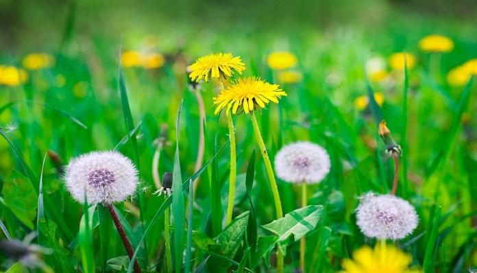 dandelion for cellulitis