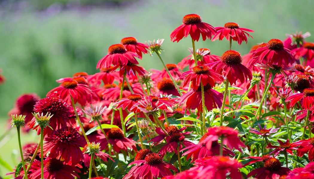 echinacea for get rid of cold sores