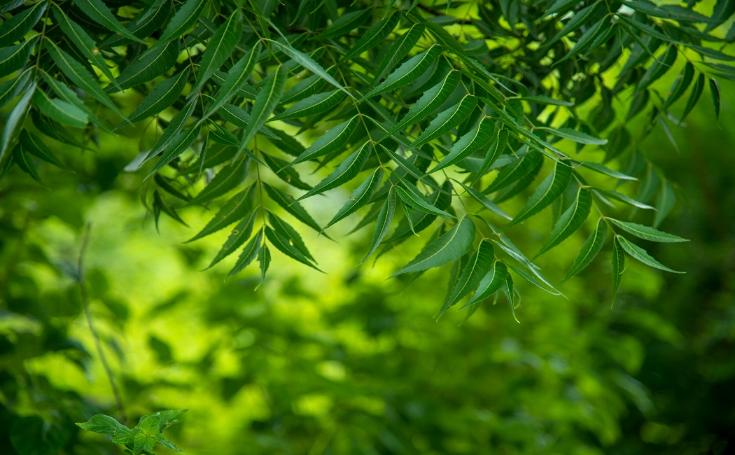 neem leaves for the cure of scabies