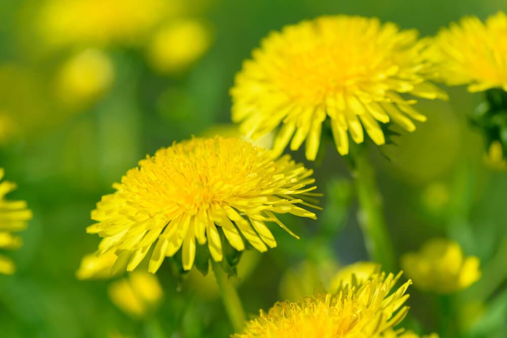 Dandelion Benefits