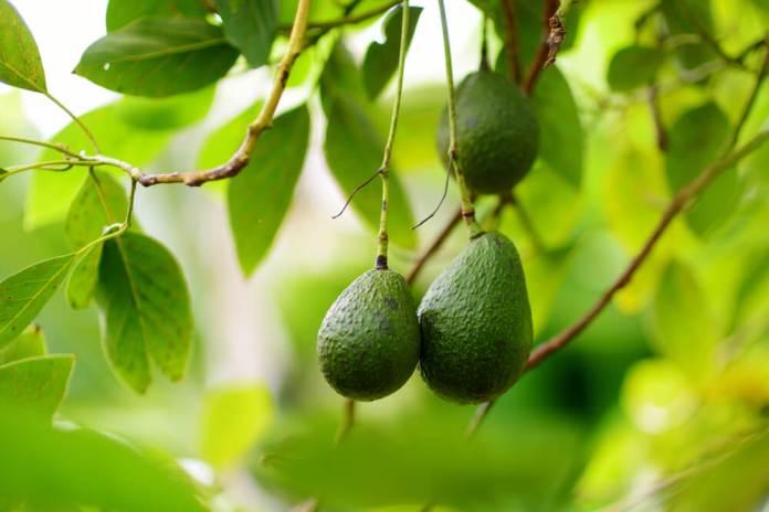 Avocado as biotin