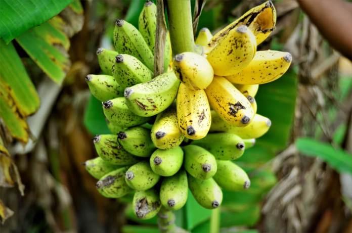 Musa acuminata banana