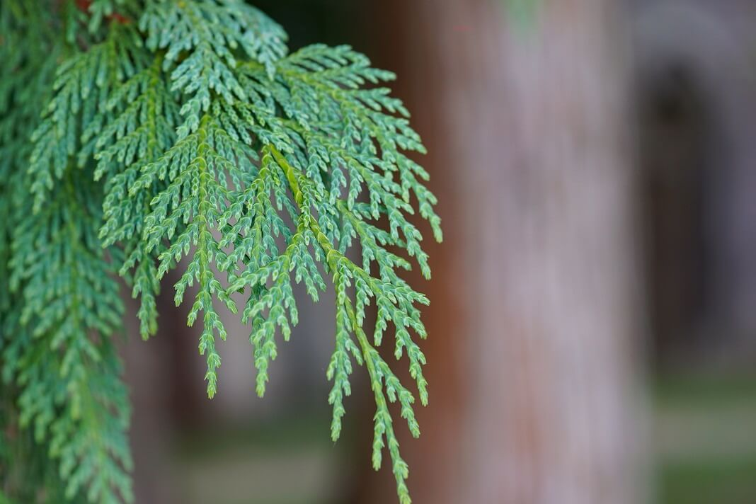 thuja benefits