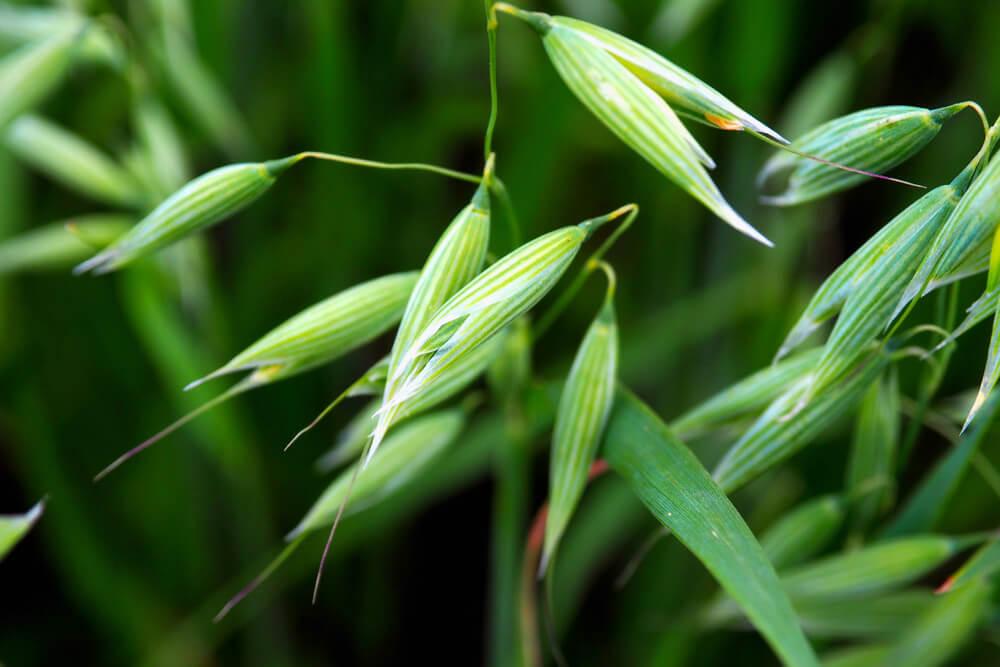 Green Oats benefits