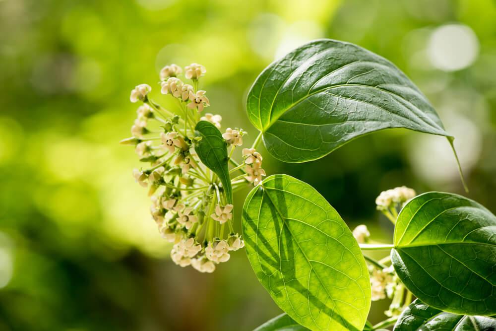 Gymnema Herb