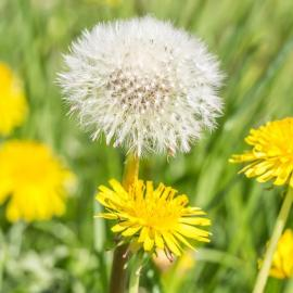 benefits of dandelion
