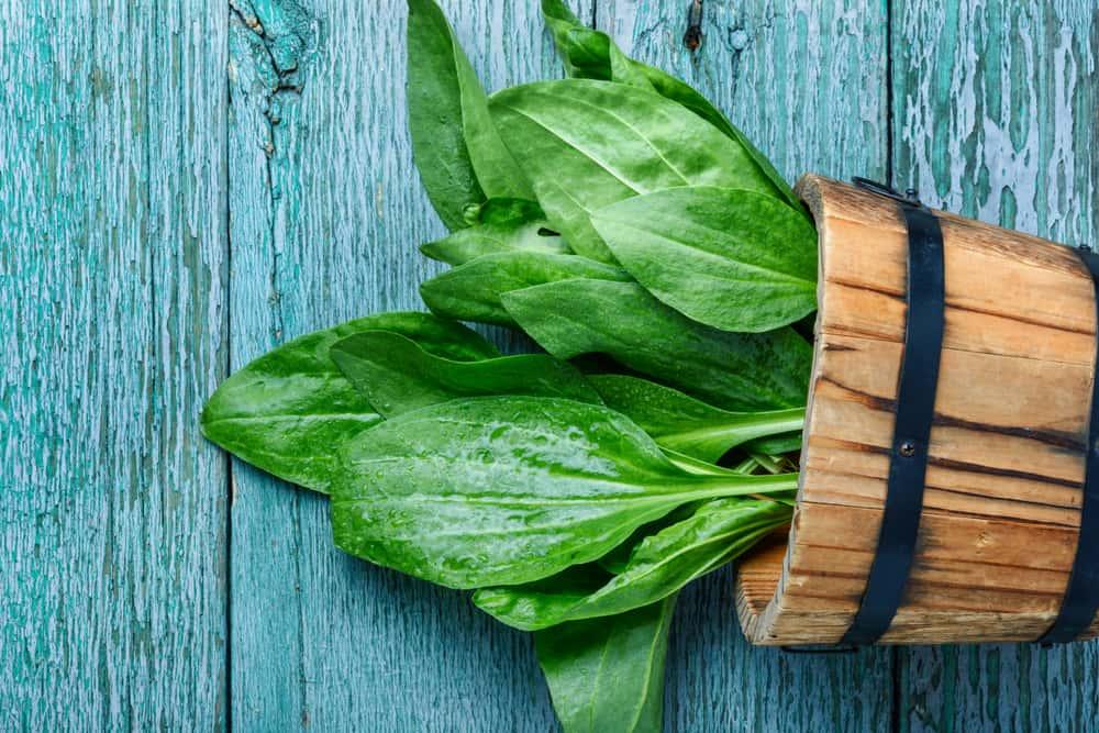 Plantain Leaf Poultice