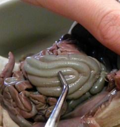 large intestine dissection of a fetal pigintestine fetal pig diagram 19 [ 1066 x 800 Pixel ]