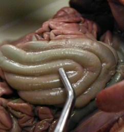 fetal pig esophagu diagram [ 1066 x 800 Pixel ]