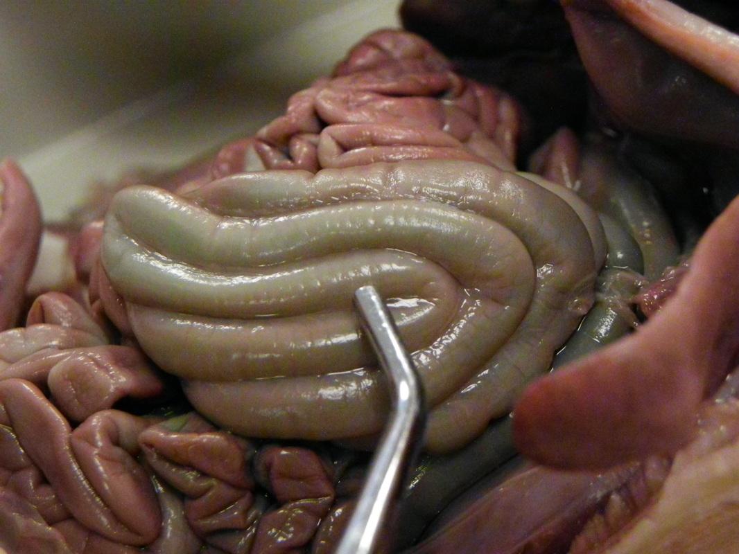 hight resolution of fetal pig esophagu diagram
