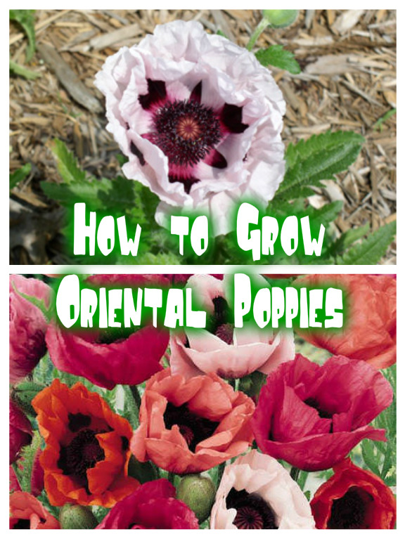 How to Grow Oriental Poppies
